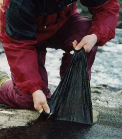 十六島海苔を岩から剥ぎ取る